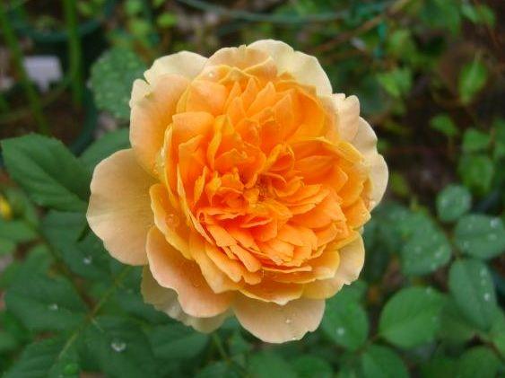 バラの花とも暫しのお別れ