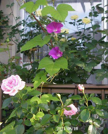 バラの鉢からアサガオが咲いて。