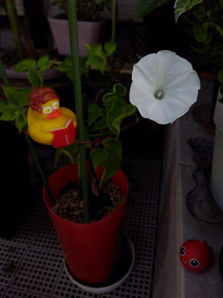 今年初のアサガオ開花でございます~