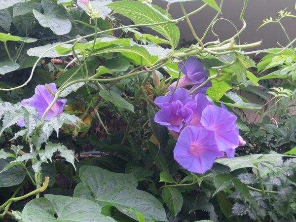 琉球朝顔105個咲きました