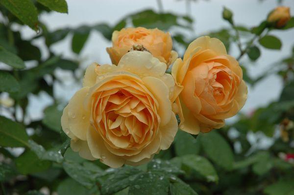 元気なバラ ②