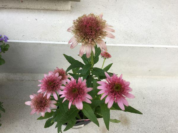 今日買った花