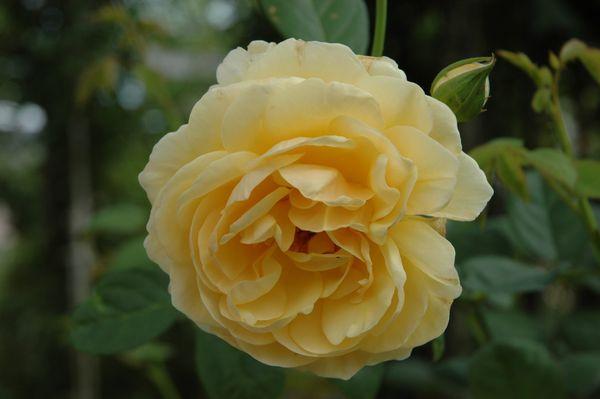 今日のバラ ①