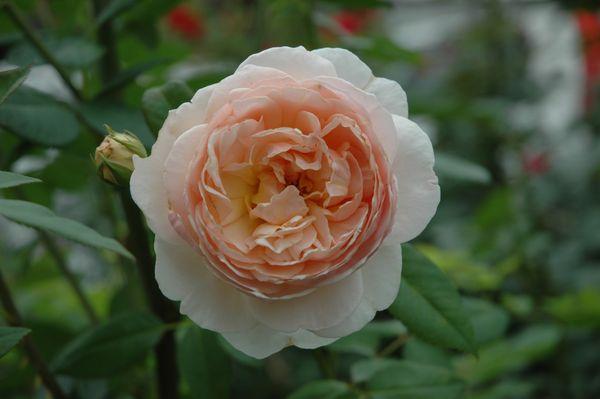 今朝のバラ ②