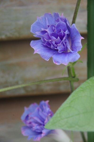 今朝の青い花たち