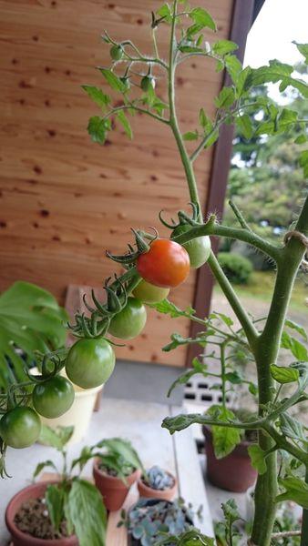 デルモンテのプチトマト