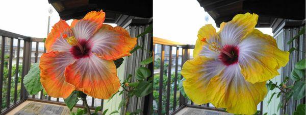 花色の変化[i:218]