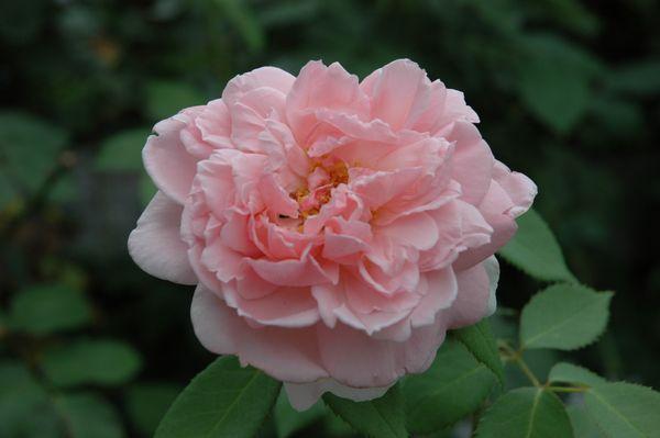 今日の薔薇 ③