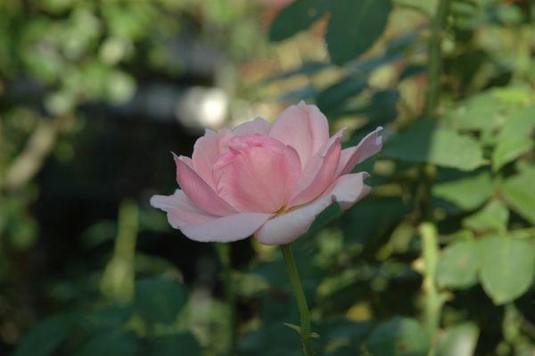 猛暑の薔薇 ③