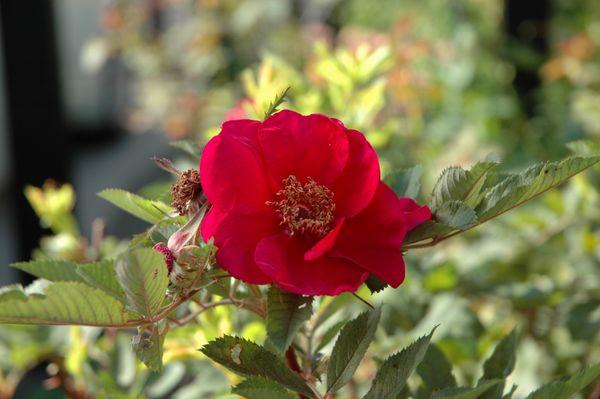 猛暑の薔薇 ④