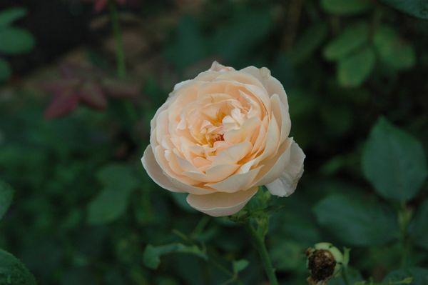 台風後のバラ ③