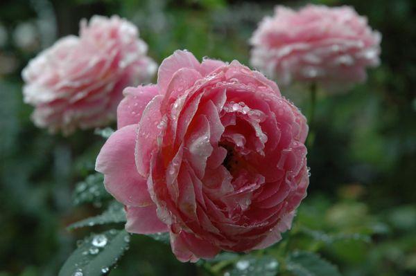 今日のバラ ④