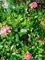 今日の庭から 薔薇3種