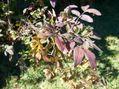 感謝祭と秋のバラ