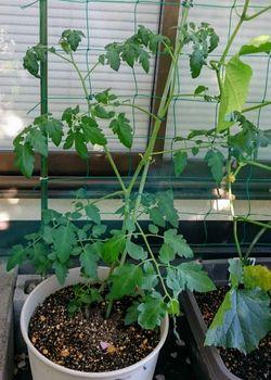 鉢植えで失敗しない?ビギナーズトマト 2本仕立てにしたい
