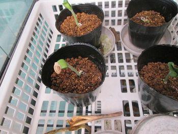カボチャアズマエビス カボチャアズマエビスの種蒔