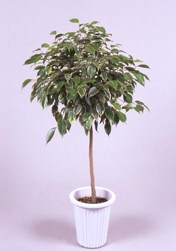 ベンジャミンゴムノキ(フィカス・ベンジャミナ)      Ficus benjamina