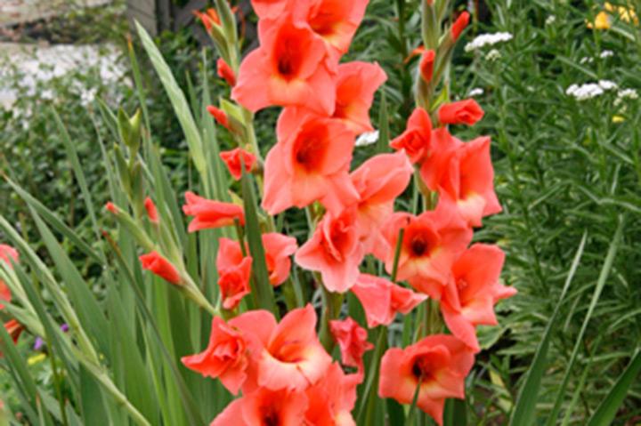グラジオラス(夏咲き)とは - 育て方図鑑 | みんなの趣味の園芸 NHK出版