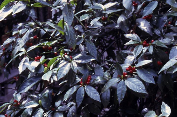 アオキ (植物)の画像 p1_25