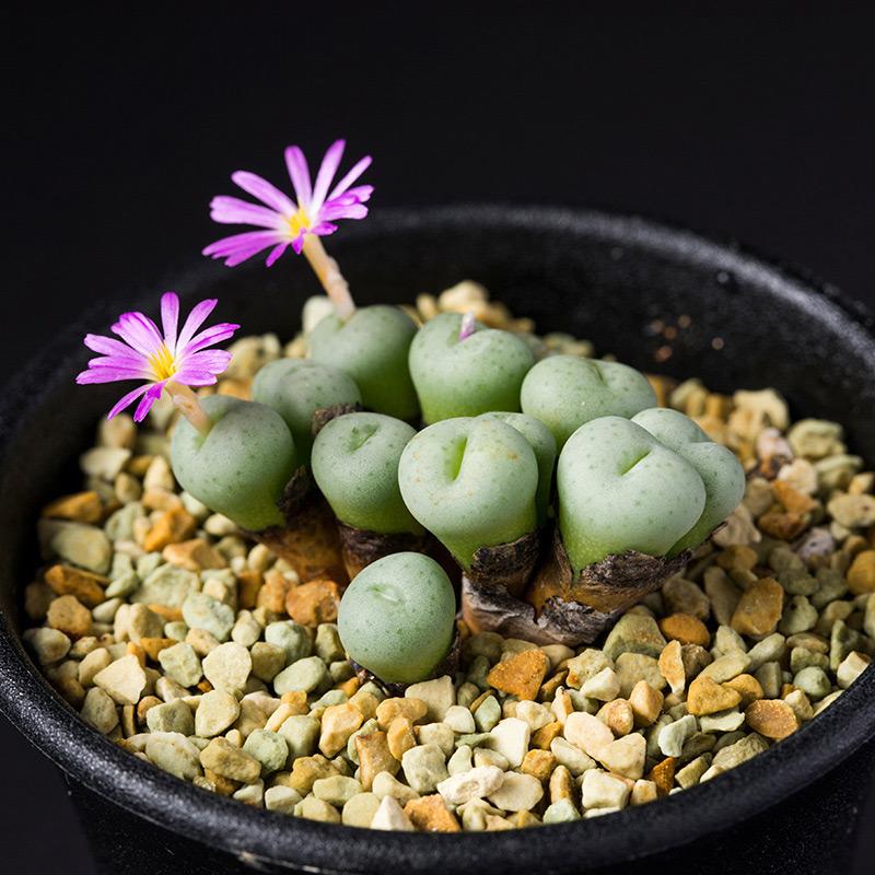 コノフィツム・セラタムの基本データ・育て方 | 多肉植物・サボテン図鑑 NHK出版 - みんなの趣味の園芸