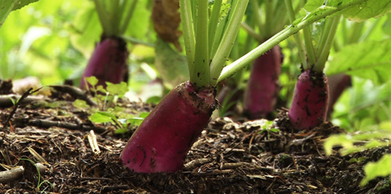 今、地方野菜・在来作物が面白い...