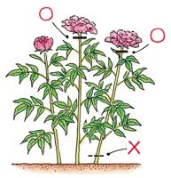 花がら摘み(はながらつみ)|園芸用語集 - みんなの趣味の園芸 NHK出版