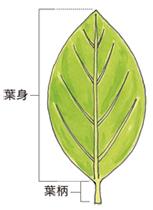 葉身(ようしん) 園芸用語集 - みんなの趣味の園芸 NHK出版