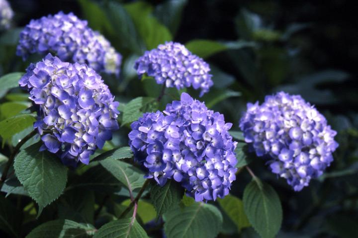 挿し木 方法 紫陽花 の