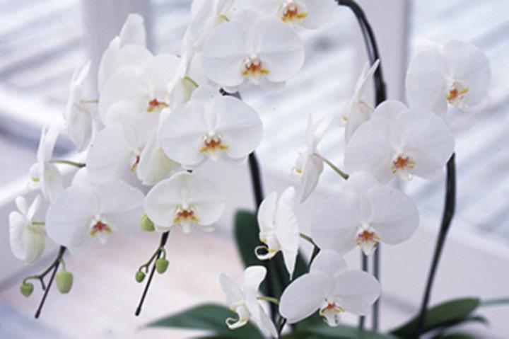 コチョウラン(胡蝶蘭)とは - 育て方図鑑 | みんなの趣味の園芸 NHK出版