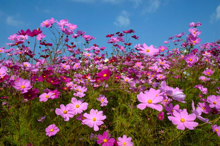 コスモスの育て方 - みんなの趣味の園芸 NHK出版