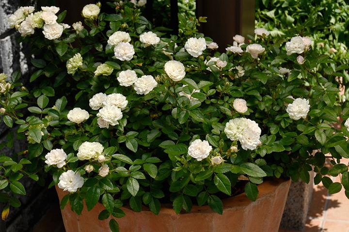 やり方 の の 薔薇 挿し木 【初心者でも簡単】はじめてのバラの挿し木