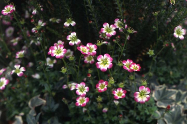 雲間草| 雲間草育て方|みんなの趣味の園芸|育て方がわかる植物図鑑