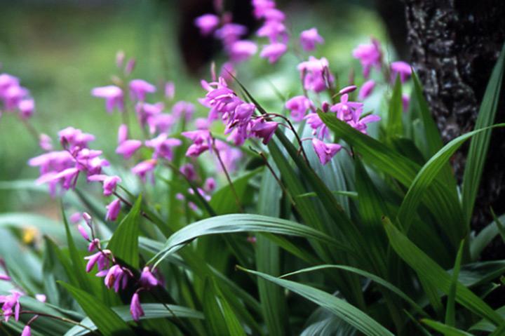 シラン (植物)の画像 p1_2