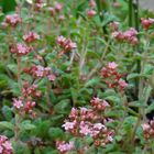 クーペリー 小さなピンクのお花が可愛い