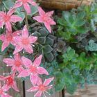 多肉植物の寄せ植え 菊日和のお花です。...