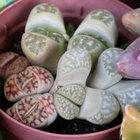石ころ植物の細胞分裂