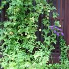 近くの古民家の玄関先に咲く… フウセン...