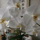 白大輪。4輪開花、あと4、5輪咲きそ...