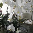 白の胡蝶蘭は4鉢ありました。1鉢は3...