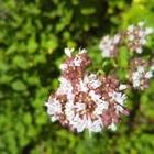 オレガノの花が咲きました 2019/06/23