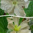 ひょうたんの花  雄花と雌花