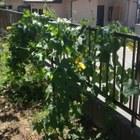 塀ぎわはヘチマです。最近は黄色い花が...