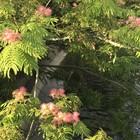 川沿いの合歓の木
