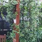 テイカカズラ  鉢植えですがパーゴラの...