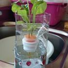 ルッコラをキッチンで 水耕栽培という...