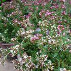 クーベリー 鉢植えです 小花が一杯可愛...
