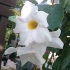 秋に咲くマンデビラ