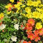 ポーチュラカ、春先から陽を浴びて、 ぐ...