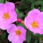 ポーチュラカ、いっぱいの花の中から 美...