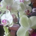 ミディ胡蝶蘭です。 毎年開花してくれる...